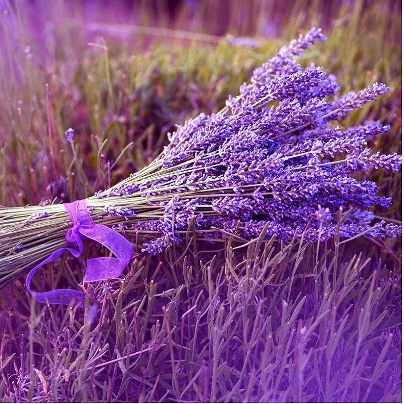 hoa lavender hoa oải hương